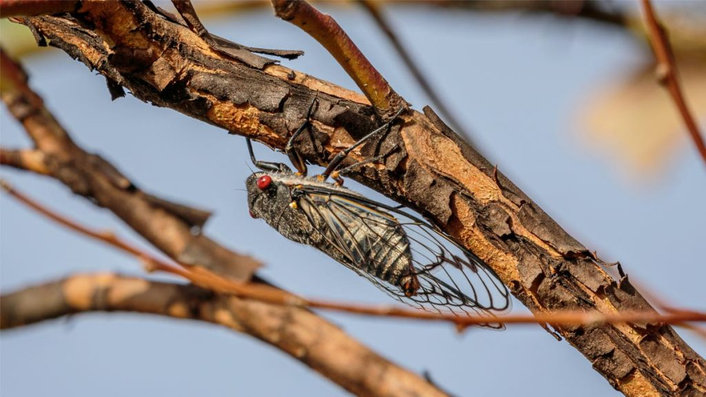 Cicadas Are Land Shrimp, and Other Allergy Cross Reactions You Should Know About